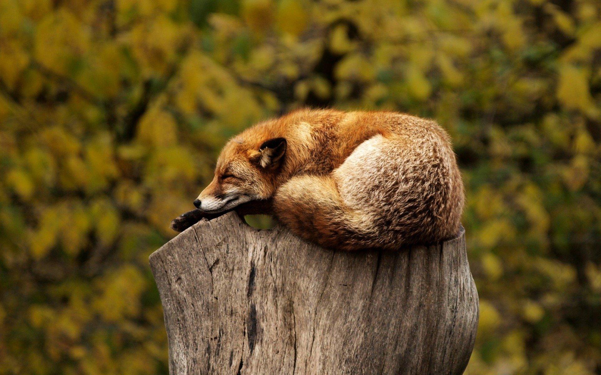 Einschlaftipps Titelbild: Schlafender Fuchs