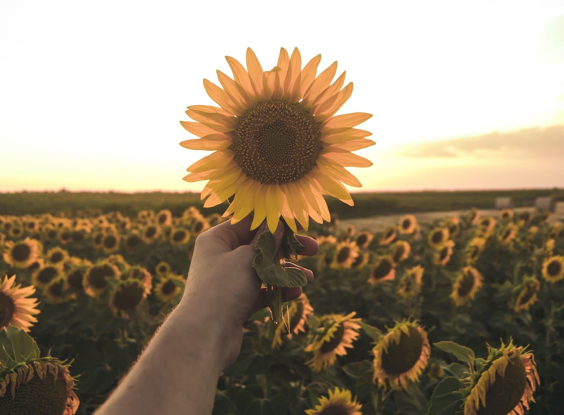 Titelbild: Mann hält Sonnenblume voller Dankbarkeit
